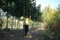 Клен гостролистий Globosum купити в Києві