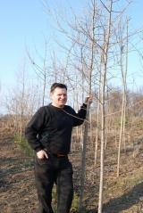 Модрина європейська / Larix decidua посаджена в полі