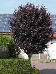 Prunus cerasifera Pissardii