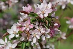Яблуня декоративна Недзвецького цвітіння