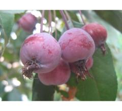Malus niedzwetzkyana - плоди