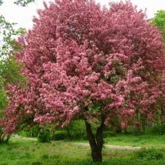 Яблуня червонолиста Недзвецького