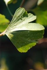 Гінкго дволопатеве білоба листок