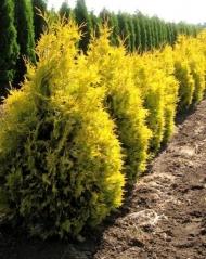 Туя Aurescens