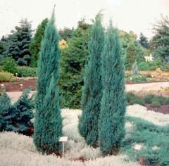 Ялівець скельний Блю Ерроу / Блю Арроу <br> Можжевельник скальный Блю Эрроу / Блю Арроу <br> Juniperus scopulorum Blue Arrow