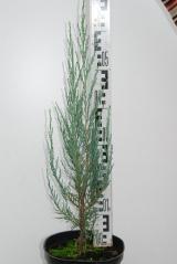 Ялівець скельний Блю Ерроу / Juniperus scopulorum Blue Arrow