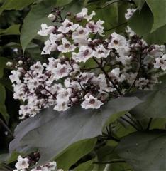 Катальпа Purpurea