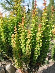 Berberis thunbergii Erecta