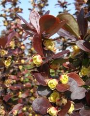 Барбарис Хелмонд Пиллар цветы