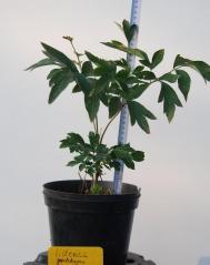 Пион древовидный / Paeonia suffruticosa