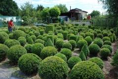 Самшит вічнозелений Топіар<br>Buxus sempervirens Topiar<br>Самшит вечнозелёный Топиар