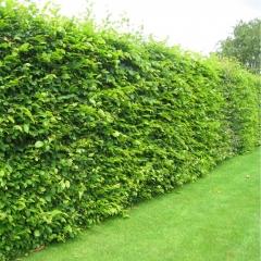 Граб звичайний <br> Граб обыкновенный <br> Carpinus betulus