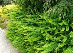 Барбарис Тунберга Грін Карпет <br> Барбарис Тунберга Грин Карпет <br> Berberis thunbergii Green Carpet