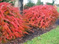 Berberis thunbergii 'Green Carpet' осенью