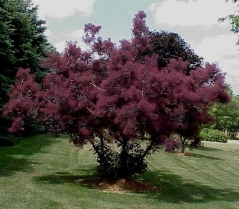 Скумпия кожевенная (дымное дерево) 'Royal Purple'
