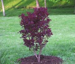 Скумпия кожевенная 'Royal Purple'