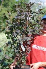 Physocarpus opulifolius Diabolo 5 років (вересень)