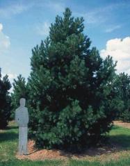Сосна румелійська/македонська/балканська <br> Сосна румелийская/македонская/балканская <br> Pinus peuce