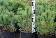Pinus peuсe висота 30см