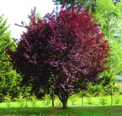 Слива розчепірена Нігра <br>Слива растопыренная Нигра <br>Prunus cerasifera Nigra