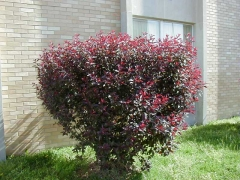 Prunus cerasifera Nigra фото