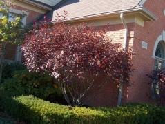 Слива цистена <br>Prunus cistena<br>Слива цистена