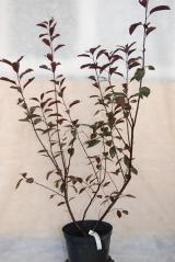Слива цистена / Prunus cistena
