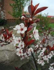 Слива цистена квіти