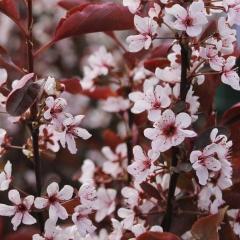 Слива цистена цвітіння