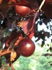 Слива цистена плоди