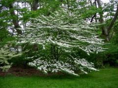 Калина складчаста Каскаде <br> Калина складчатая Каскаде <br> Viburnum plicatum Cascade