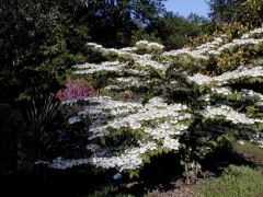 Viburnum plicatum Cascade
