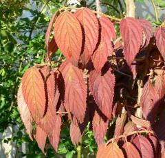 Калина складчаста Каскаде осінь