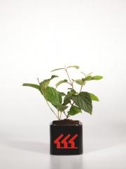 Калина складчаста Каскаде / Viburnum Plicatum Cascade вік 2 роки