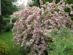 Вейгела цветущая 'Нана Вариегата'