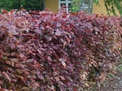 Бук Атропуніцеа Пурпуреа жива огорожа
