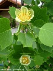 Тюльпанове дерево