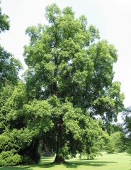 Тюльпанове дерево фото