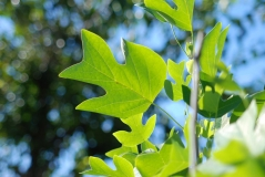 Тюльпанове дерево / Liriodendron tulipifera