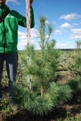 Pinus strobus 140-150 см