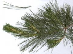 Pinus strobus Сосна Веймутова