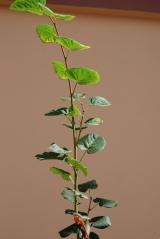 Липа крупнолиста / широколиста / Tilia platyphyllos
