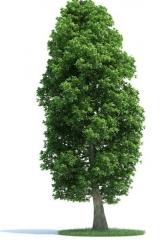 Липа дерево