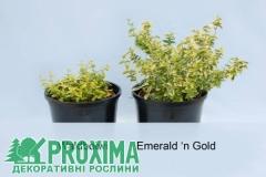 Euonymus 'Emerald'n Gold' саджанці