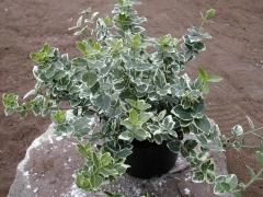 Euonymus fortunei - растения для ландшафтного дизайна