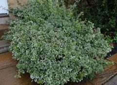 Бересклет Emerald Gaiety - растения для живой изгороди