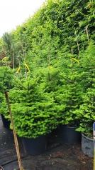 Abies koreana хвойные растения