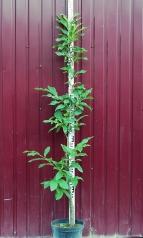 Каштан посівний / їстівний висота 160см