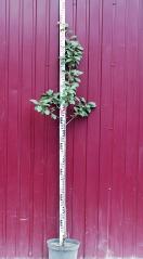 Слива домашня Анна Шпет (пізня) висота дерева 1,7м