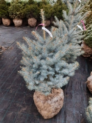 Picea Blue Diamant догляд